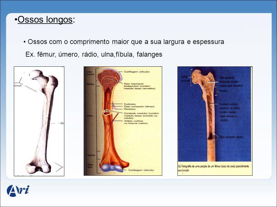 Ossos longos: Ossos com o comprimento maior que a sua largura e espessura.