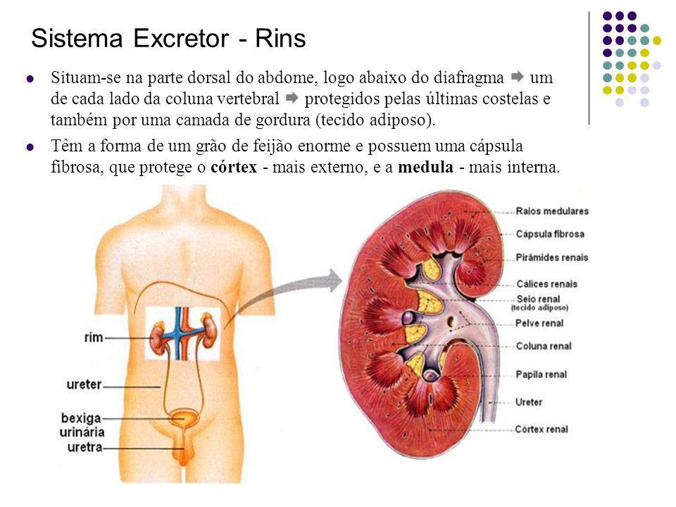 Sistema Excretor - Rins