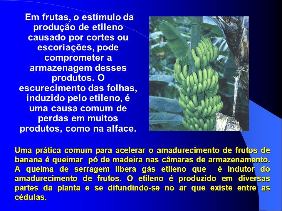 Em frutas, o estímulo da produção de etileno causado por cortes ou escoriações, pode comprometer a armazenagem desses produtos. O escurecimento das folhas, induzido pelo etileno, é uma causa comum de perdas em muitos produtos, como na alface.