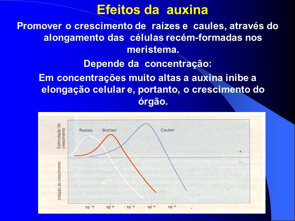 Efeitos da auxina Promover o crescimento de raízes e caules, através do alongamento das células recém-formadas nos meristema.