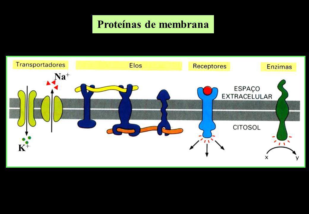 Proteínas de membrana Na+ K+