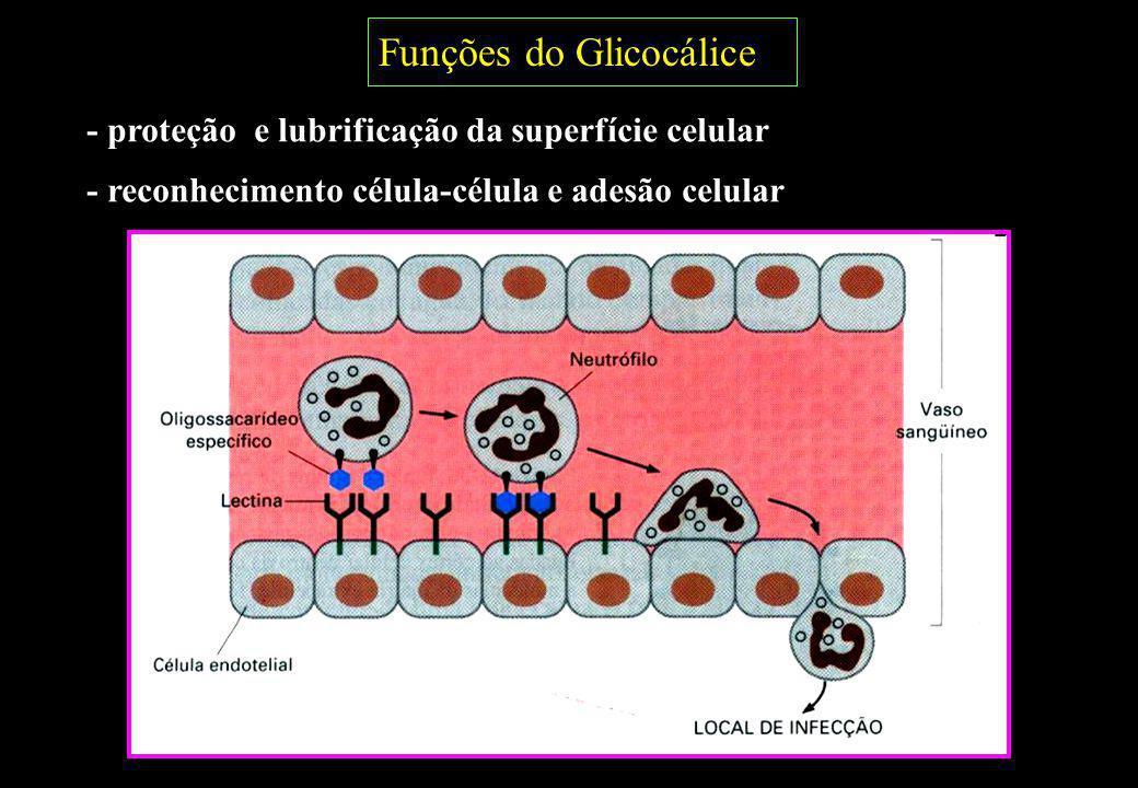 Funções do Glicocálice