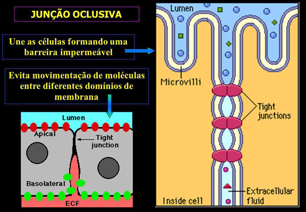 Une as células formando uma barreira impermeável JUNÇÃO OCLUSIVA