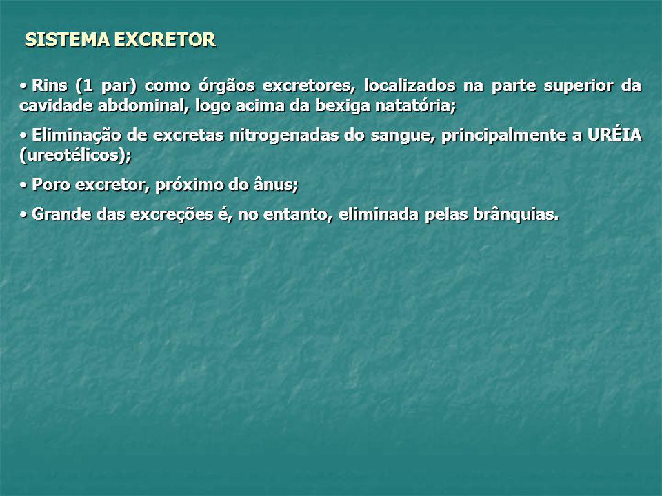 SISTEMA EXCRETOR Rins (1 par) como órgãos excretores, localizados na parte superior da cavidade abdominal, logo acima da bexiga natatória;