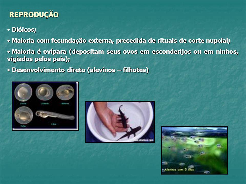 REPRODUÇÃO Dióicos; Maioria com fecundação externa, precedida de rituais de corte nupcial;