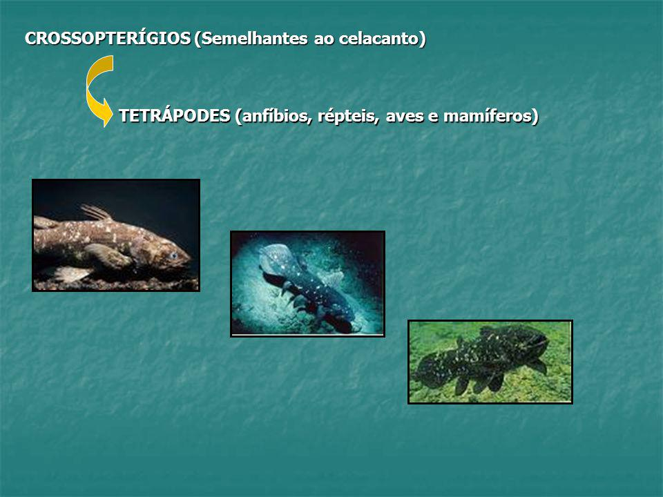 CROSSOPTERÍGIOS (Semelhantes ao celacanto)