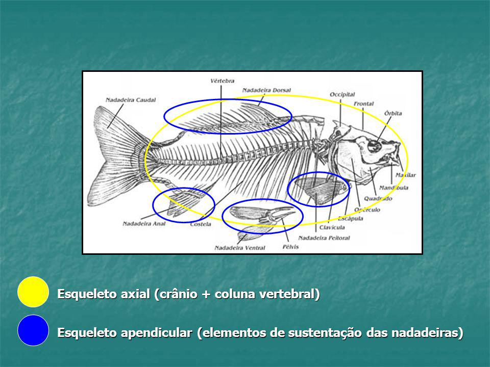 Esqueleto axial (crânio + coluna vertebral)