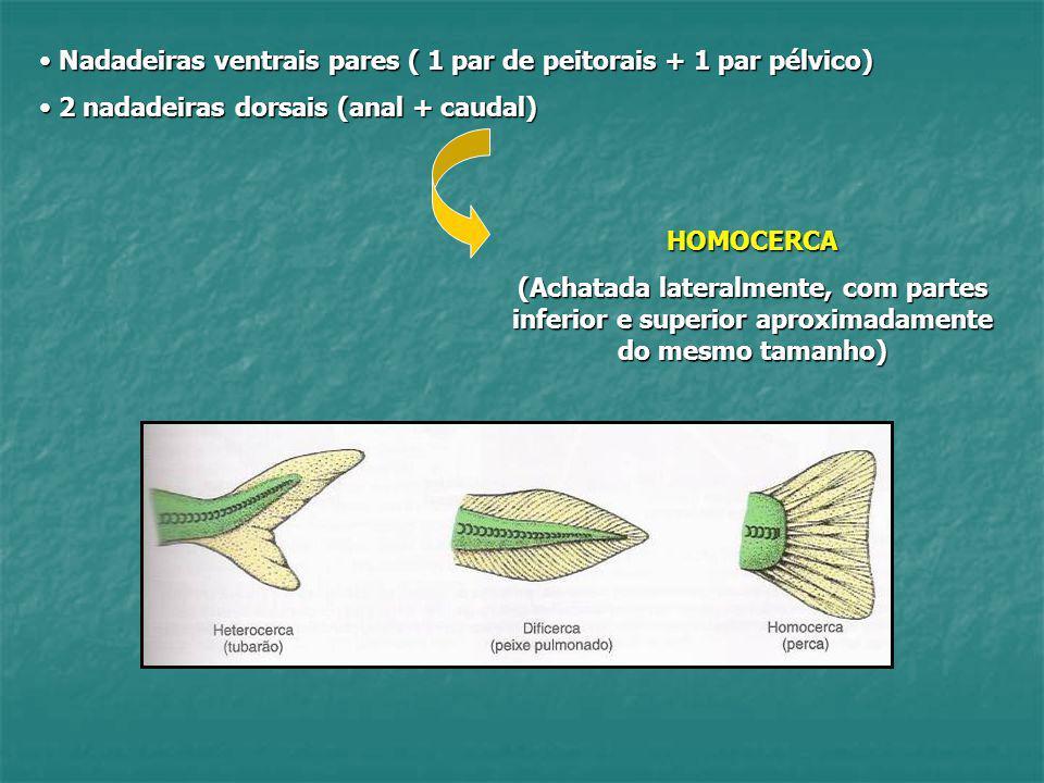 Nadadeiras ventrais pares ( 1 par de peitorais + 1 par pélvico)