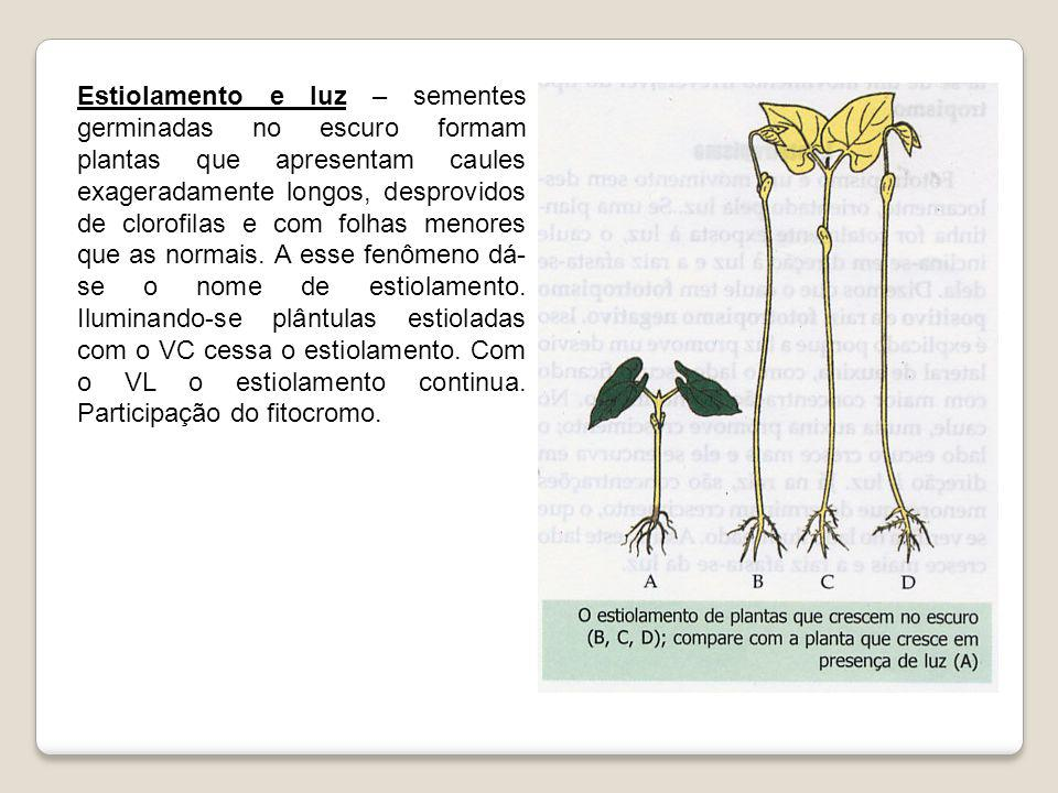 Estiolamento e luz – sementes germinadas no escuro formam plantas que apresentam caules exageradamente longos, desprovidos de clorofilas e com folhas menores que as normais.