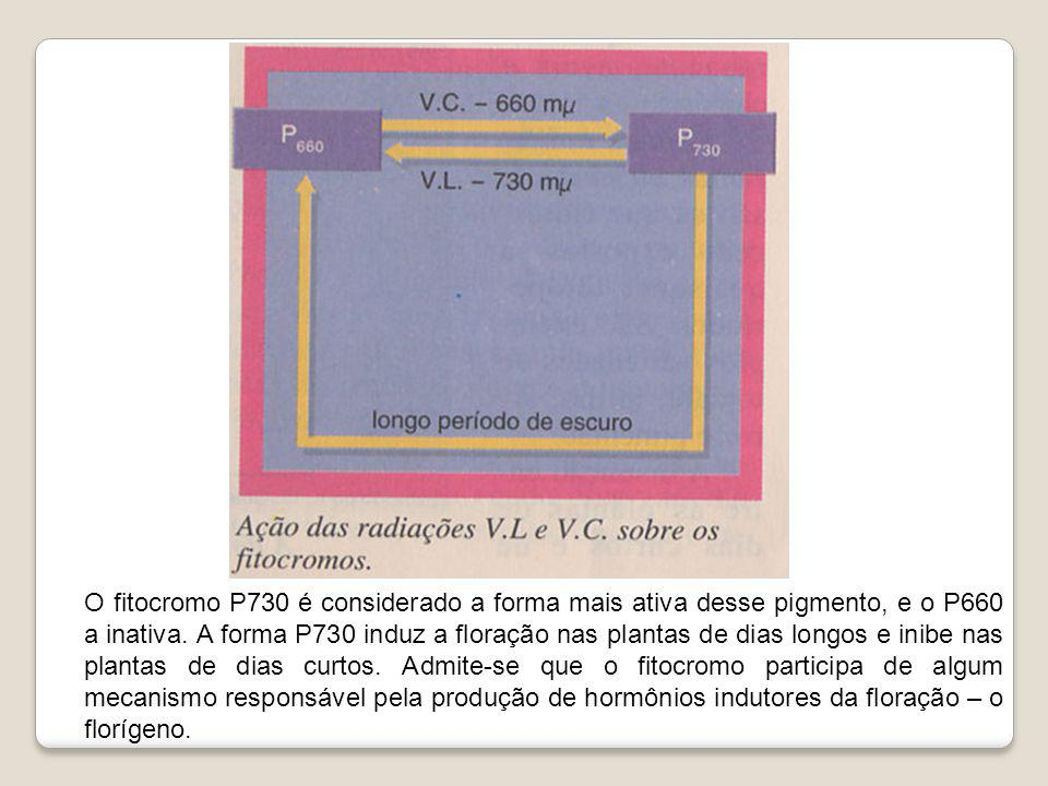 O fitocromo P730 é considerado a forma mais ativa desse pigmento, e o P660 a inativa.