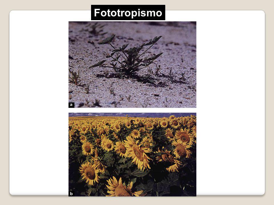 Fototropismo