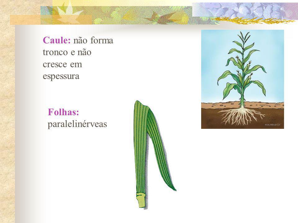 Caule: não forma tronco e não cresce em espessura