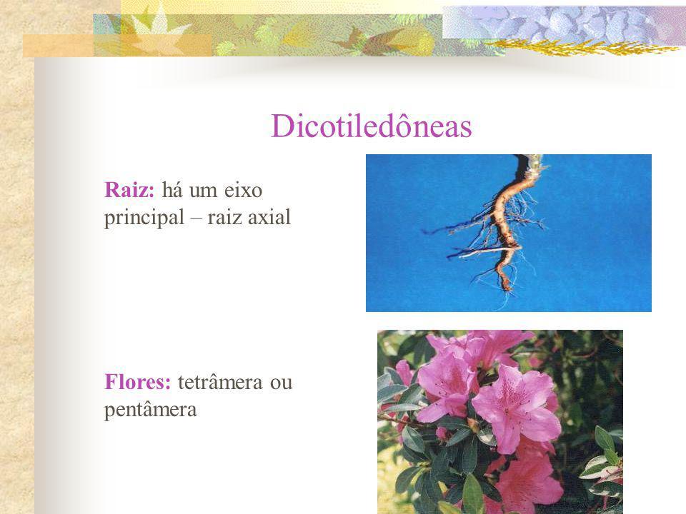 Dicotiledôneas Raiz: há um eixo principal – raiz axial