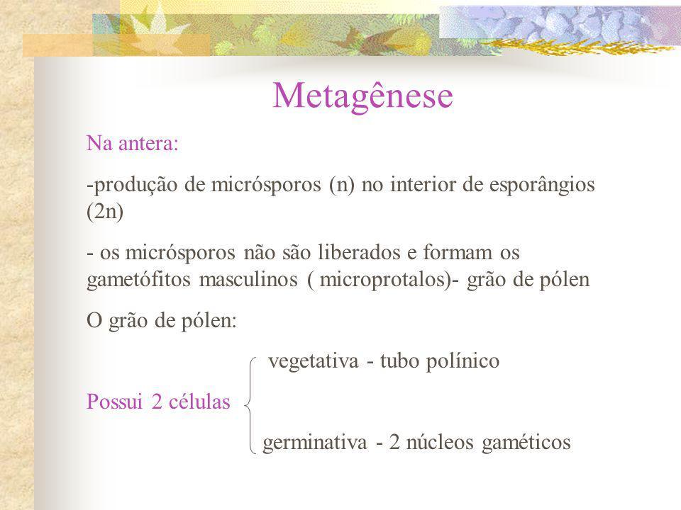Metagênese Na antera: produção de micrósporos (n) no interior de esporângios (2n)