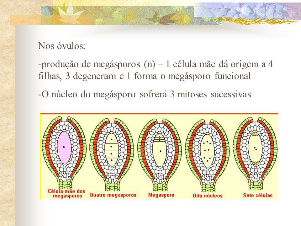 Nos óvulos: produção de megásporos (n) – 1 célula mãe dá origem a 4 filhas, 3 degeneram e 1 forma o megásporo funcional.