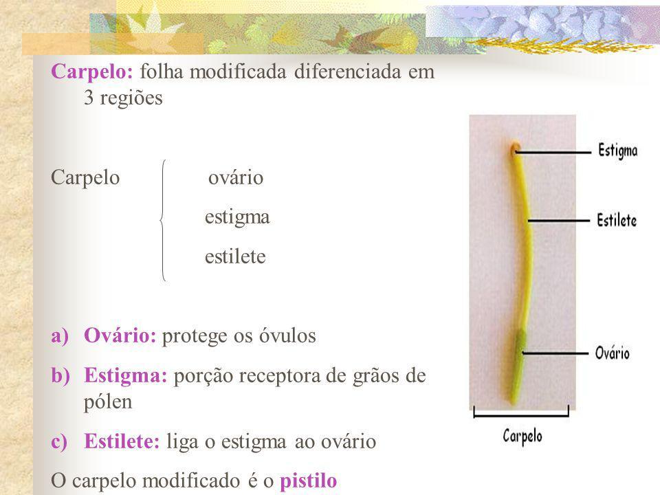 Carpelo: folha modificada diferenciada em 3 regiões