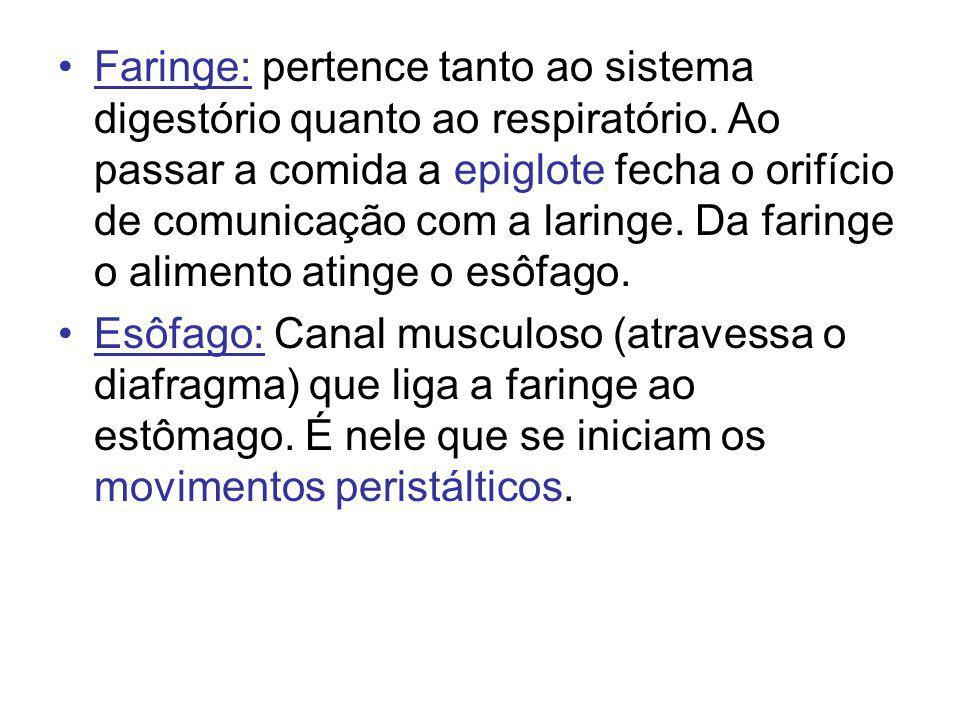 Faringe: pertence tanto ao sistema digestório quanto ao respiratório