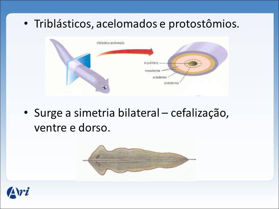 Triblásticos, acelomados e protostômios.