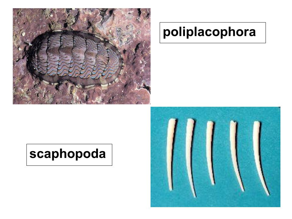 poliplacophora scaphopoda
