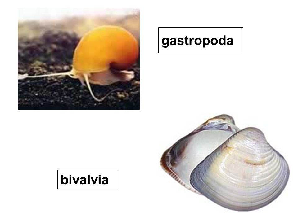 gastropoda bivalvia