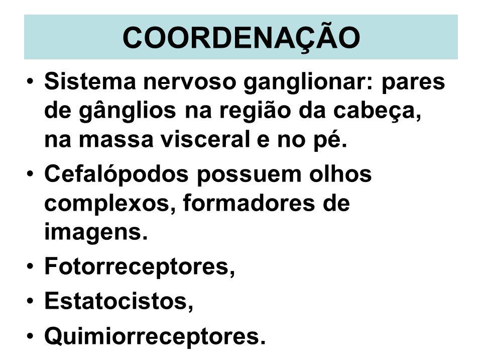 COORDENAÇÃO Sistema nervoso ganglionar: pares de gânglios na região da cabeça, na massa visceral e no pé.