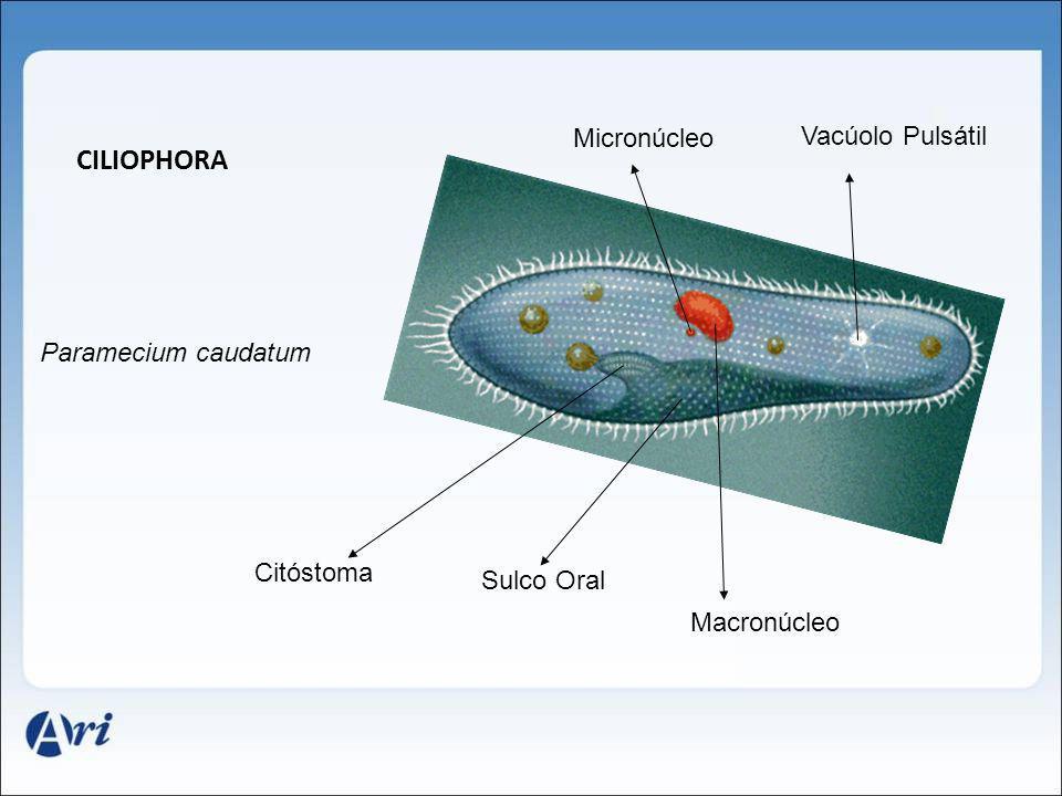 Ciliophora Micronúcleo Vacúolo Pulsátil Paramecium caudatum Citóstoma