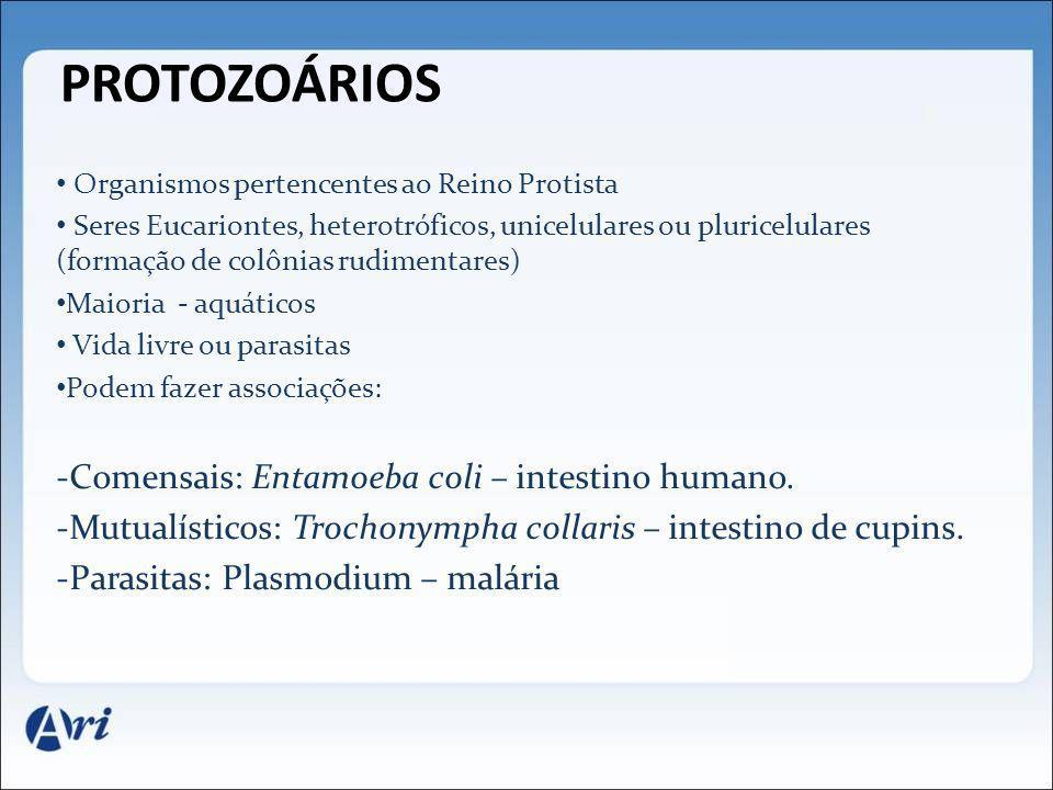 Protozoários Comensais: Entamoeba coli – intestino humano.