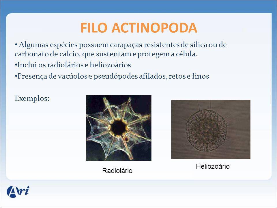 FILO ACTINOPODA Algumas espécies possuem carapaças resistentes de sílica ou de carbonato de cálcio, que sustentam e protegem a célula.