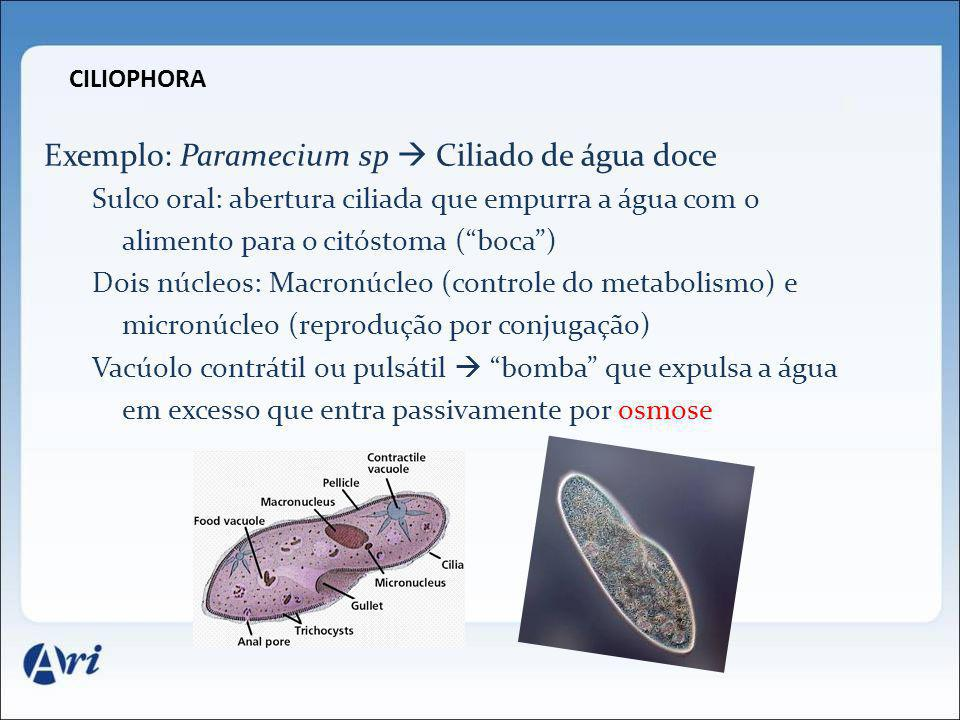 Exemplo: Paramecium sp  Ciliado de água doce