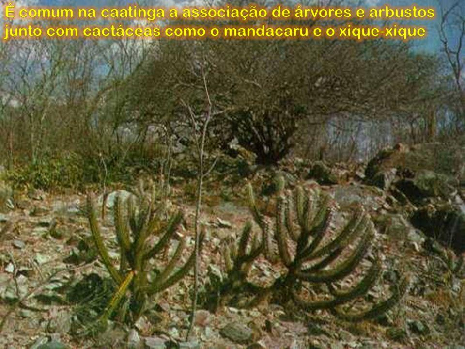 É comum na caatinga a associação de árvores e arbustos