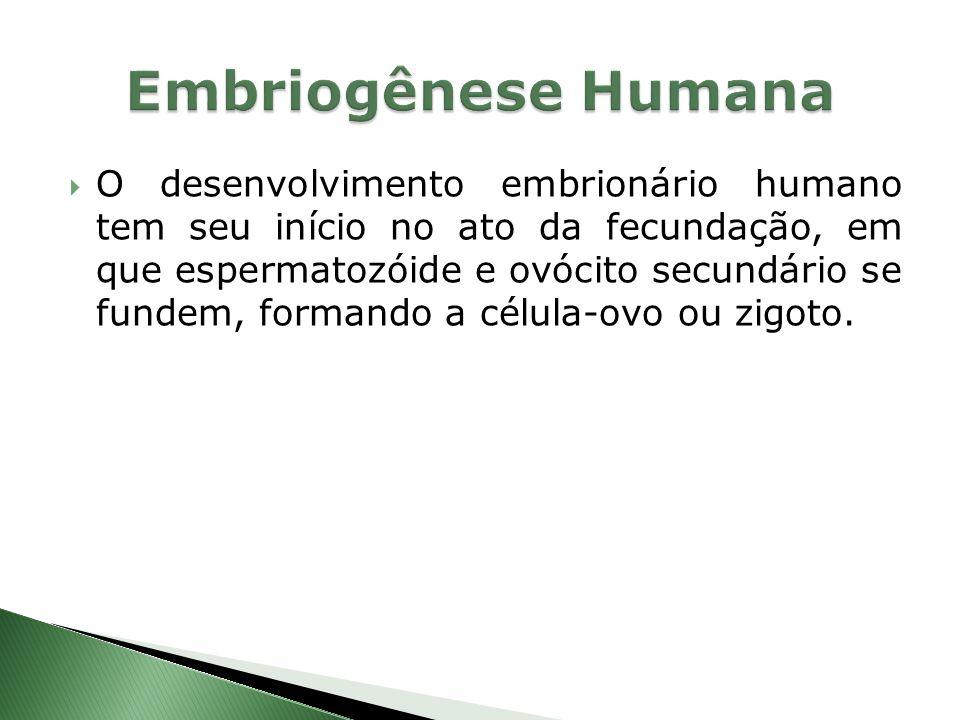 Embriogênese Humana