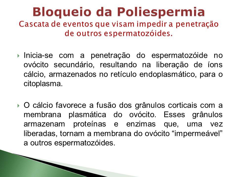 Bloqueio da Poliespermia Cascata de eventos que visam impedir a penetração de outros espermatozóides.