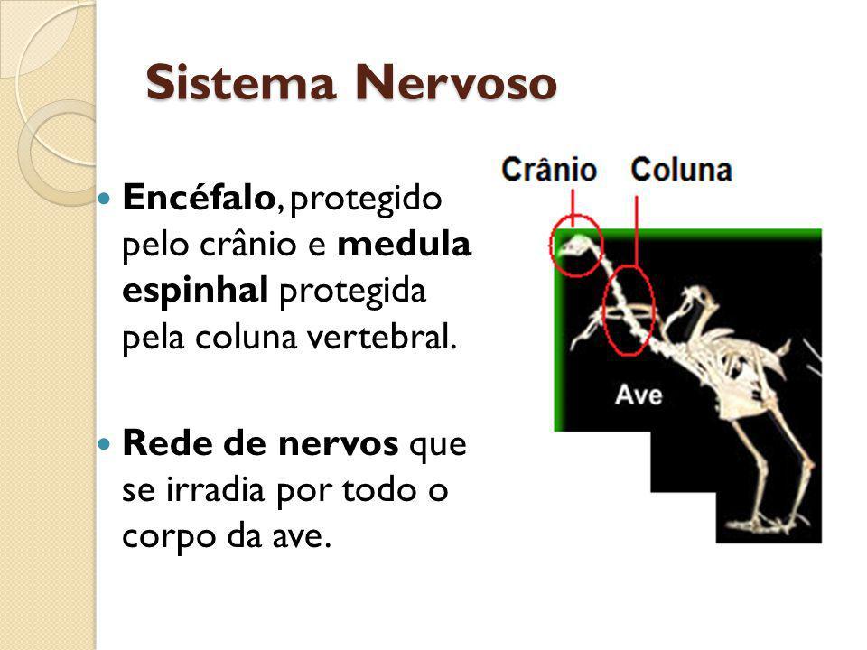 Sistema Nervoso Encéfalo, protegido pelo crânio e medula espinhal protegida pela coluna vertebral.