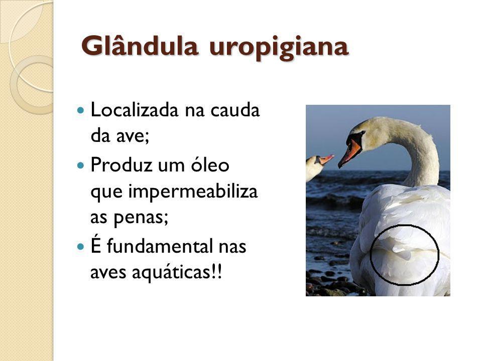 Glândula uropigiana Localizada na cauda da ave;