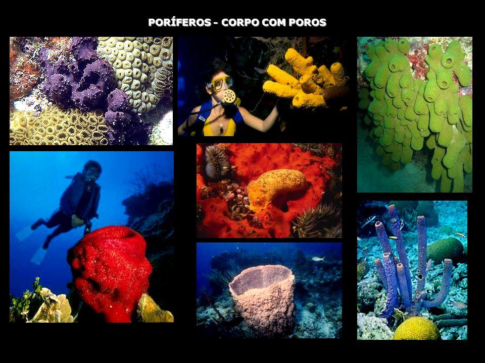 PORÍFEROS - CORPO COM POROS