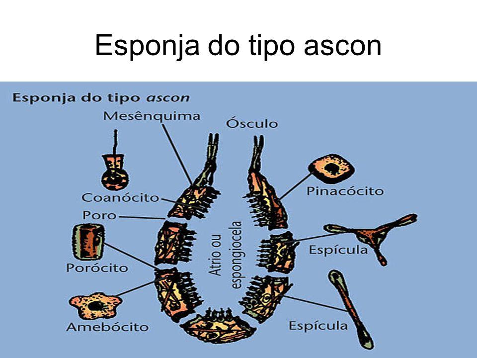 Esponja do tipo ascon
