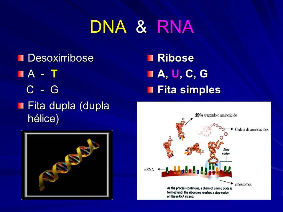 DNA & RNA Desoxirribose A - T C - G Fita dupla (dupla hélice) Ribose