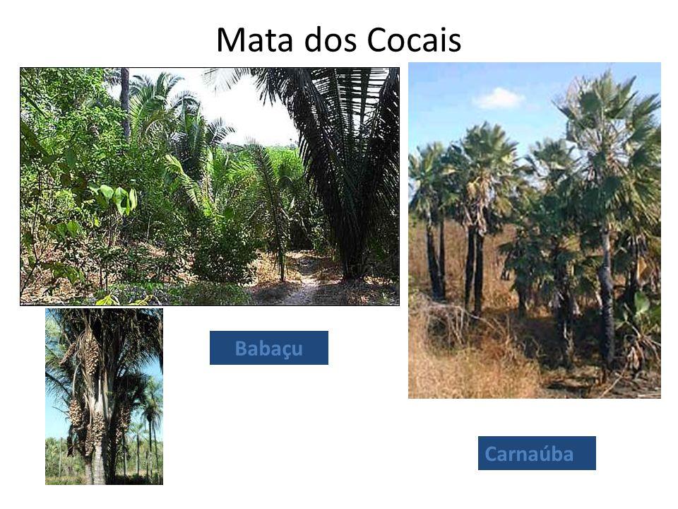 Mata dos Cocais Babaçu Carnaúba