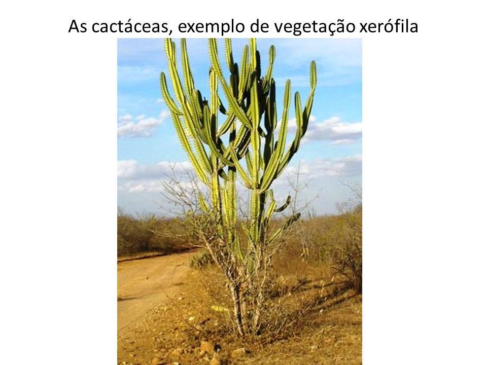 As cactáceas, exemplo de vegetação xerófila