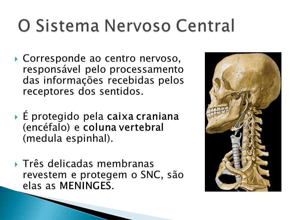 Corresponde ao centro nervoso, responsável pelo processamento das informações recebidas pelos receptores dos sentidos.