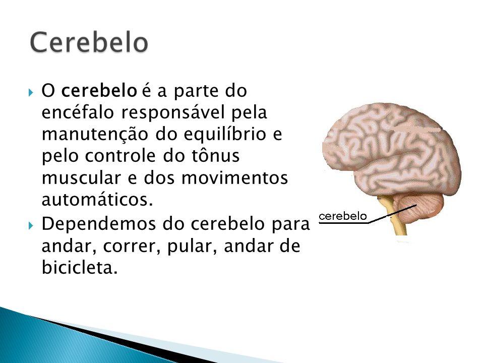 O cerebelo é a parte do encéfalo responsável pela manutenção do equilíbrio e pelo controle do tônus muscular e dos movimentos automáticos.