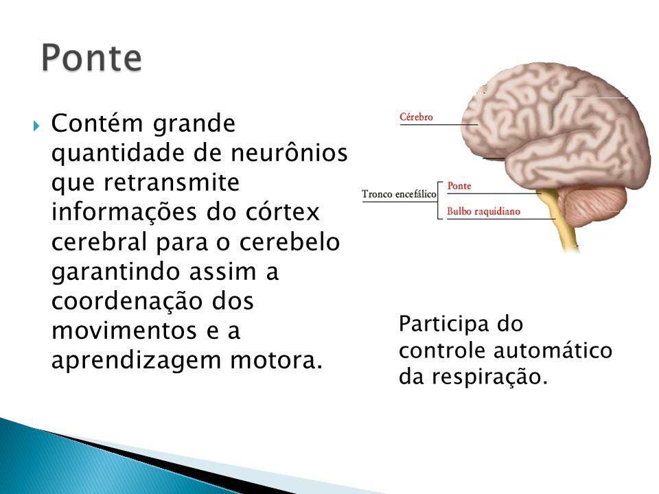 Contém grande quantidade de neurônios que retransmite informações do córtex cerebral para o cerebelo garantindo assim a coordenação dos movimentos e a aprendizagem motora.