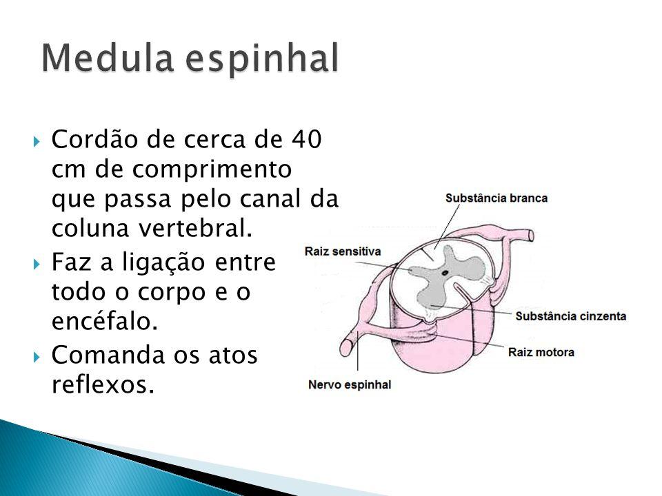 Medula espinhal Cordão de cerca de 40 cm de comprimento que passa pelo canal da coluna vertebral.