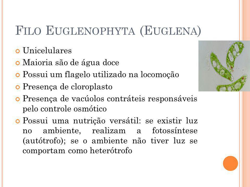 Filo Euglenophyta (Euglena)