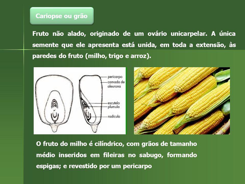 Cariopse ou grão