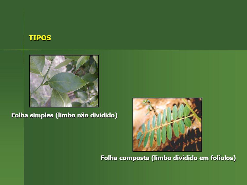TIPOS Folha simples (limbo não dividido)