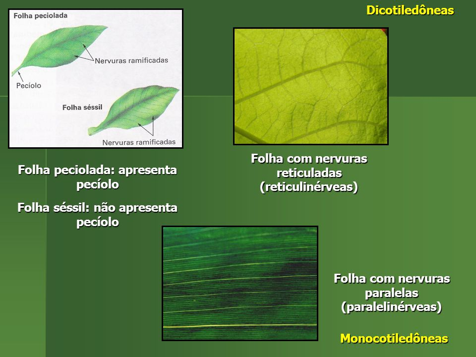 Folha peciolada: apresenta pecíolo