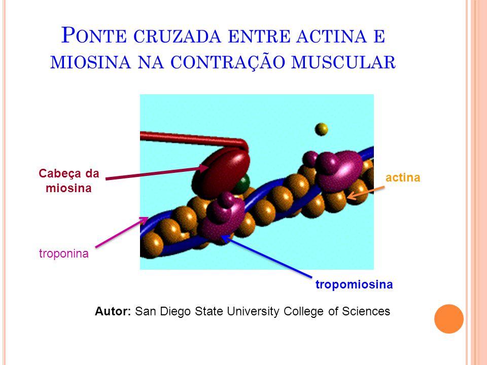 Ponte cruzada entre actina e miosina na contração muscular