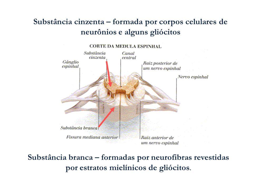 Substância cinzenta – formada por corpos celulares de neurônios e alguns gliócitos