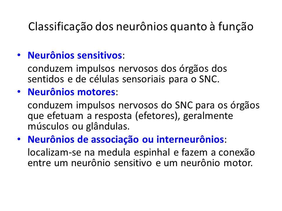 Classificação dos neurônios quanto à função